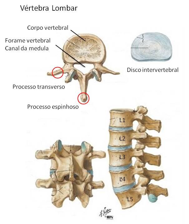 Contemporáneo L 3 Vértebras Componente - Anatomía de Las Imágenesdel ...